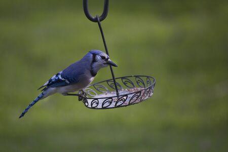 green jay: forrajeo bluejay de alimentos alrededor de un alimentador de aves patio trasero a finales de la primavera