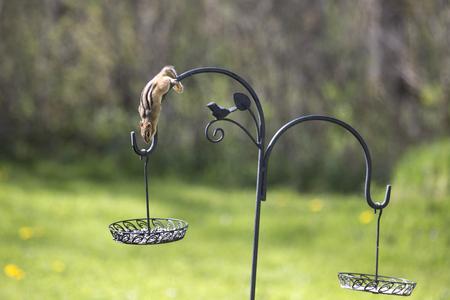 ardilla: Ardilla recoger semillas de un alimentador del patio trasero.