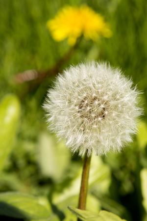 brisk: Dandelion seeds awaiting a brisk breeze to travel across the land.