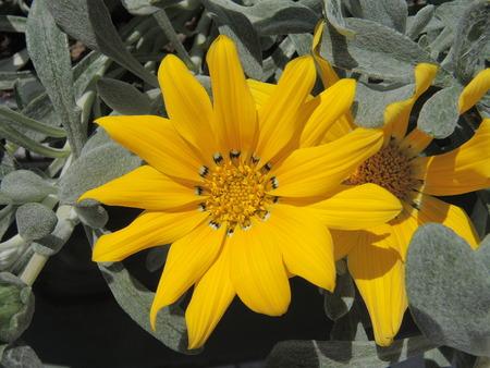 velvety: Closeup of yellow treasure flower blossom