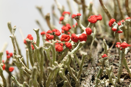 Closeup of a colony of British soldier lichen (Cladonia cristatella) with amazing red fungus heads photo