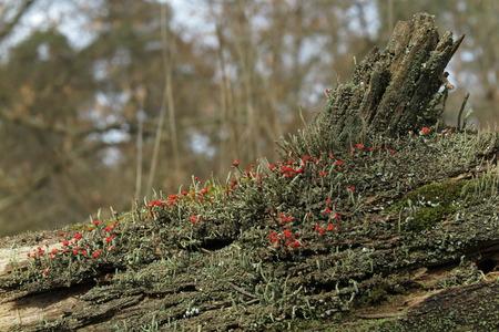 Colony of British soldier lichen (Cladonia cristatella) with amazing red fungus heads photo