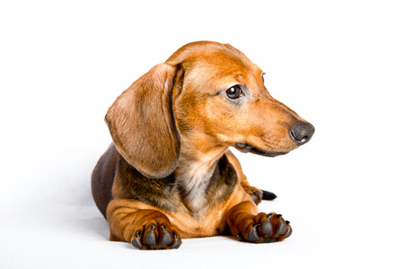 Dachshund close up Stock Photo
