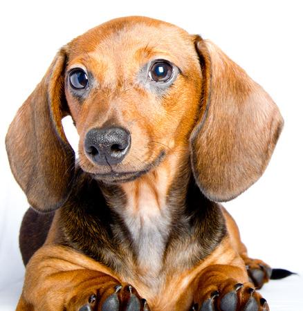 short hair dog: Dachshund close up Stock Photo