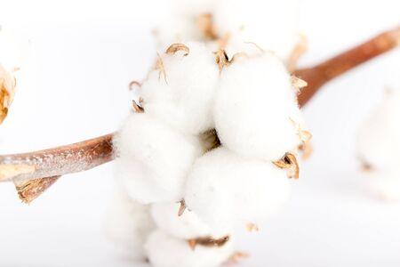 cotton crop: Cotton twig