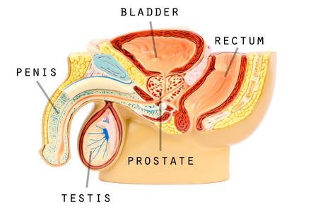 Männliche Genitalanatomie Standard-Bild - 26986228