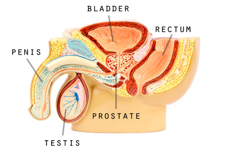 Male genital anatomy photo