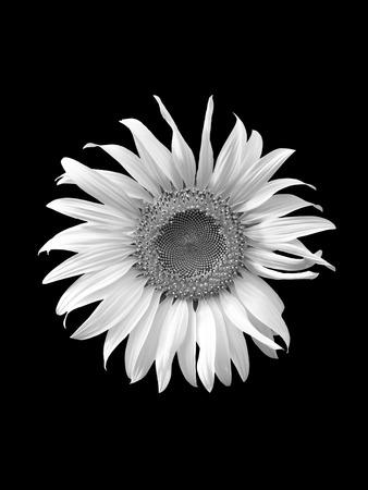 whithe: sunflower on black  background,flower, yellow,sunflower texture, sunflower close up,black  whithe Foto de archivo