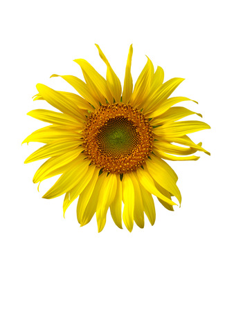 a sunflower: sunflower on white background,flower, yellow,sunflower texture, sunflower close up Stock Photo