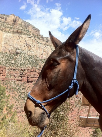 otganimalpets01: Working with mules in the Grand Canyon  Stock Photo