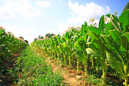 Tobacco plantation in Poland