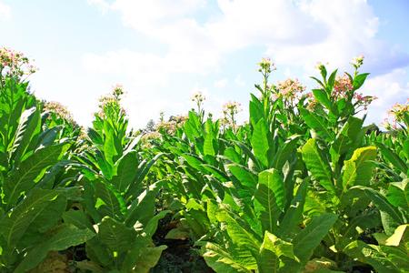 Plantação de tabaco na Polônia Foto de archivo