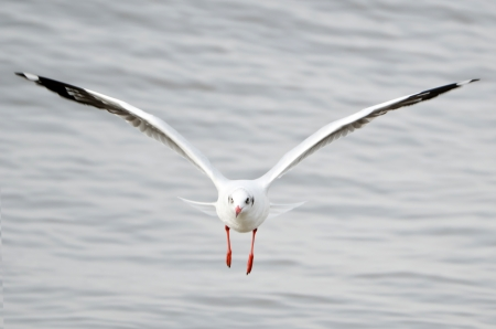 Flying Seagull on Sea in Thailand photo
