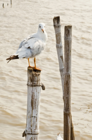 Seagull hold on bamboo in Thailand