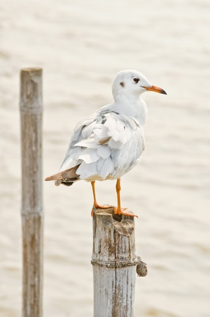 Seagull hold on bamboo in Thailand photo