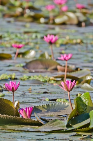 The lake of pink water lily in Thailand photo