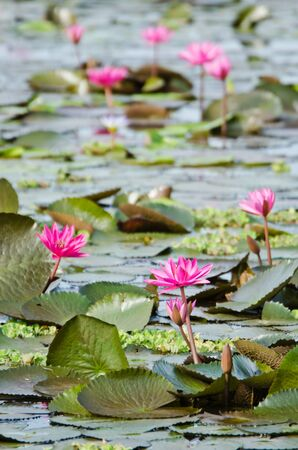 The lake of pink water lily in Thailand