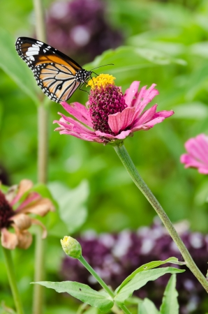 Monarch butterfly on pink Zinnia flower photo