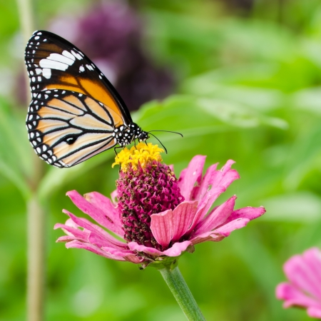 Monarch butterfly on pink Zinnia flower
