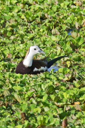 jacana: Bird (Pheasant-tailed Jacana ) on green lotus