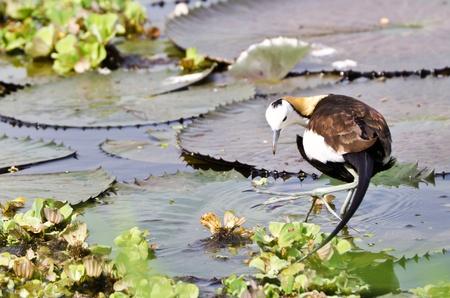 jacana: Bird  Pheasant-tailed Jacana   on green lotus