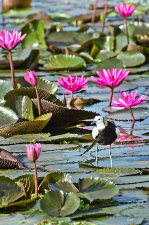 jacana: Pheasant-tailed jacana in the lake of pink water lily