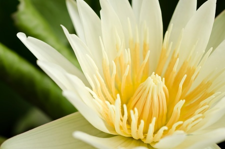 Close up of beautiful  yellow lotus blossom