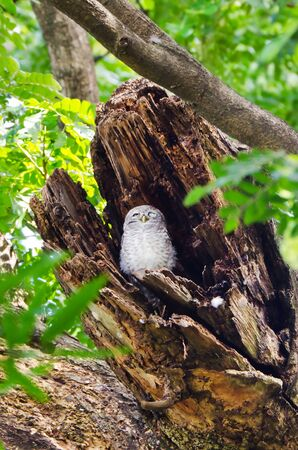 Spotted owlet in hollow of a tree in Thailand photo