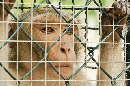 Close up of monkey looking out through the cage photo