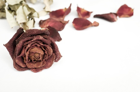 Single dried rose, Dead rose on white with text area photo