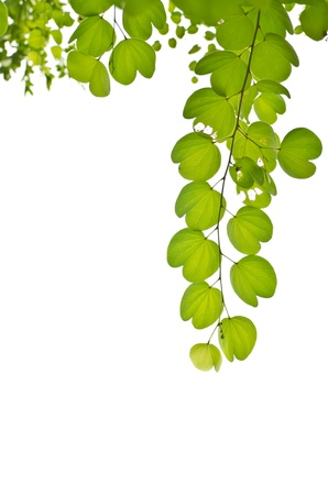 green leaf isolated on white background, can be used for background Stock Photo