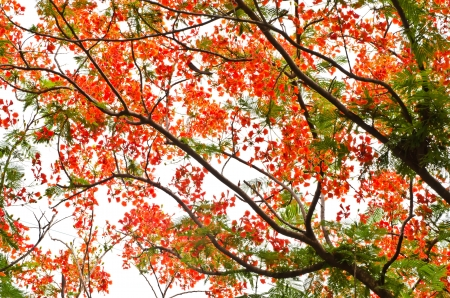 flamboyant: Flame Tree or Royal Poinciana Tree on white background Stock Photo