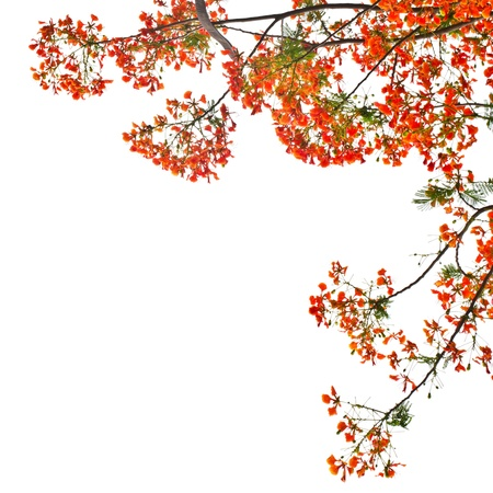Flame Tree or Royal Poinciana Tree on white background, can be used for background photo