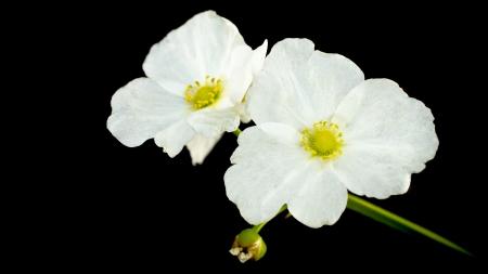 echinodorus: beautiful white flower, Echinodorus cardifolius, a kind of water plants.