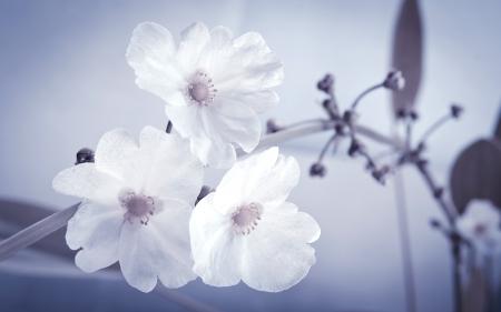 echinodorus: beautiful white flower, Echinodorus cardifolius, a kind of water plants.Processed with vintage style.