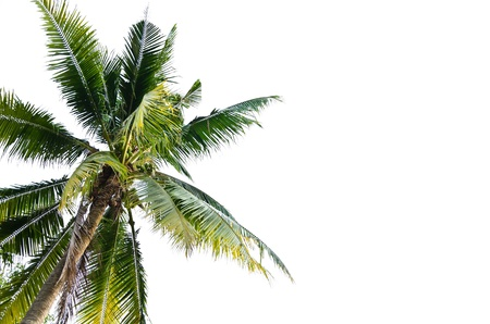 tropical evergreen forest: Palm coconut tree isolated on white background