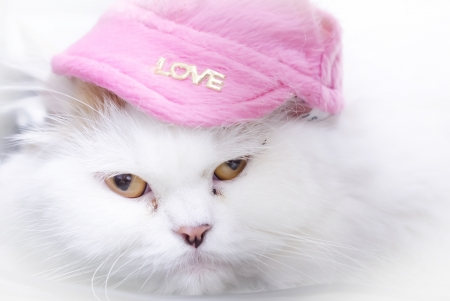 Close up of white persian cat face with pink hat  Soft focus