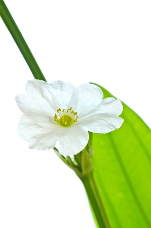 echinodorus: beautiful white flower, Echinodorus cardifolius, a kind of water plants  Stock Photo
