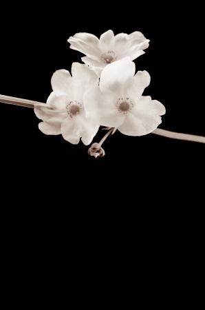echinodorus: beautiful white flower, Echinodorus cardifolius, a kind of water plantswith text area Processed with vintage style  Stock Photo
