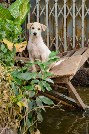 Sad dog escape from the worst flooding in Thailand Stock Photo