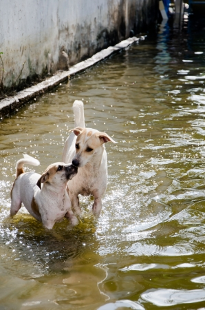 worst: Two dogs  playing in flood water during the worst flooding in Thailand