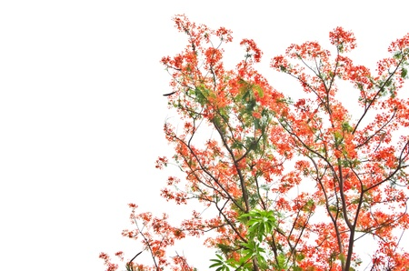 Flame Tree or Royal Poinciana Tree on white background, can be used for background Stock Photo - 21059669