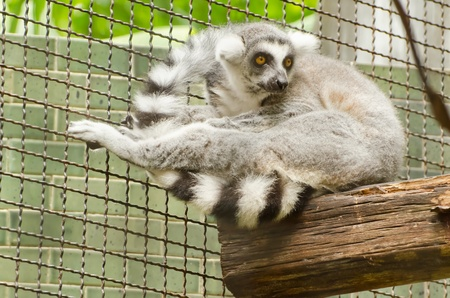 Ring-tailed lemur in captivity in a zoo  of Thailand photo