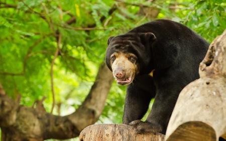 indo china: Sun bear  Helarctos malayanus  on a log