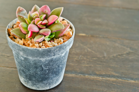 Succulents -Echeveria runyonii Rose in flowerpot on wooden table  photo