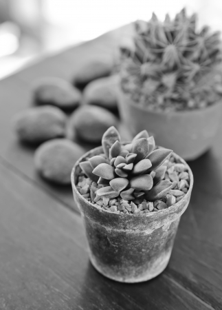 Succulents -Echeveria runyonii Rose in flowerpot on wooden table Processed with black and white style  photo