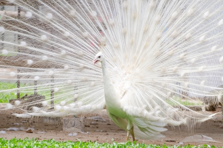 peacock wheel: Close-up of beautiful white peacock with feathers out