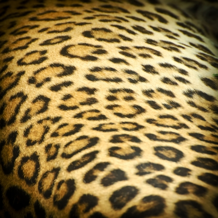 Real leopard skin spots,can be used for background Stock Photo