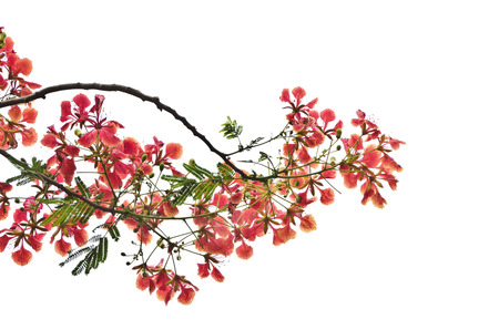 Flame Tree or Royal Poinciana Tree on white background, can be used for background