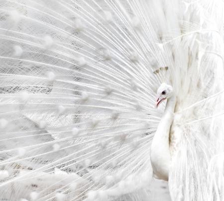 peacock wheel: Close-up della bella pavone bianco con piume fuori Archivio Fotografico